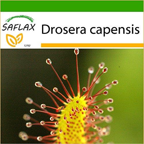 SAFLAX - Rocío de sol - 200 semillas - Con sustrato estéril para cultivo - Drosera capensis