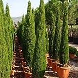 Italianos semillas Ciprs (Cupressus sempervirens) + 25 Semillas