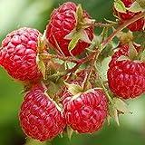 1 sac 100 Rouge framboise bio Graines 100% de graines réel de haute qualité