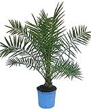 Phoenix des Canaries palmier