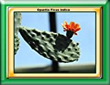 Opuntia Ficus indica 2017: Cactus (English Edition)