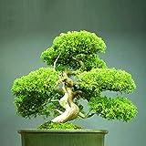 Centraliain 50 Unids Semillas De Pino Enebro Bonsai Pino Juniperus Chinensis Semillas Jardn Balcn Planta 50 pcs Semillas de Pino