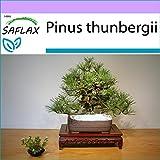 SAFLAX - Pino negro japons - 30 semillas - Pinus thunbergii