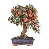 Bonsi 8 Aos Pyracantha rbol Espina de Fuego Planta Natural