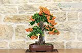 Pyracantha bonsai tree (106)