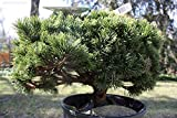 Pets Delite 15 Semillas de Pinus mugo mughos (Mugo Pino) Bonsai