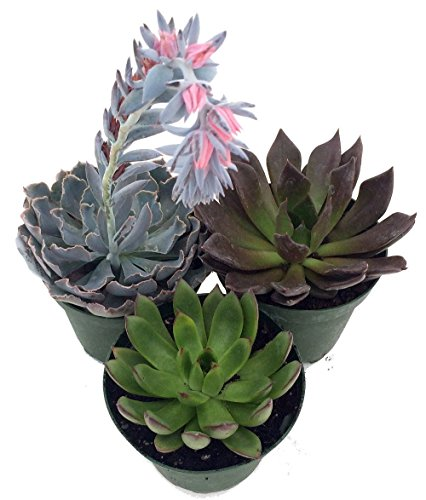 3 Different Desert Rose Succulent Plants - Echeveria - Easy to Grow - 2' Pots