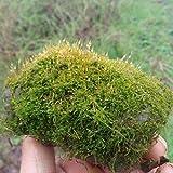 Semillas de plantas con cubierta de musgo100 + (briofita) Decoracin Semillas de tierra de bonsai de rocalla Fcil de cultivar para el jardn de su casa Jardn al aire libre Plantacin agrcola