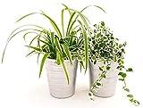 Chloropphytum, fallaje y ficus repens variado, plantas purficas de aire, en maceta de cermica plateada, plantas autnticas