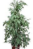 Planta de interior - Planta para la casa o la oficina - Ficus benjamina Variegata - 80 cm de alto - AHORA CON DESCUENTO
