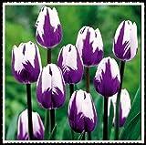 Tulipani bulbi-Bulbi da fiore, Casa come un fiore Matrimonio con rizoma facile da piantare-5 Bulbi,viola