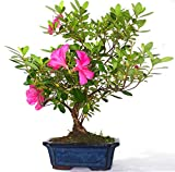 Azalea - rbol de bonsi de flores estilo racimo, se suministra en una olla rectangular de cermica sin cuidado