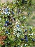 ALYKE 10 seeds of Common Juniper - JUNIPERUS COMMUNIS