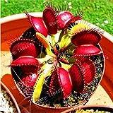 GEOPONICS 100 Pcs Flytrap graines Dionaea semences clip DionÃe Seeds...