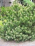 VISA STORE 5 Semillas de semillas de Pinus Mugo mughus Mugo de pino