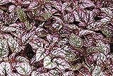 Las Semillas de germinacin: PC 1 Bombilla roja Ficus deltoidea Jack Moraceae Planta de Buen Sexo, encantos, Comercio Rich