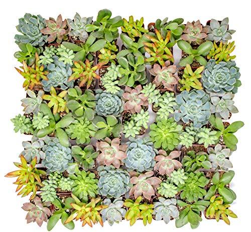Altman Plants - Live Succulent Plants (64 Pack) Assorted Potted...