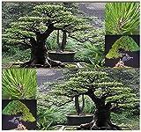 10 Semillas - JAPONS semilla roja del rbol de pino - Pinus densiflora - rbol bonsai JAPONS