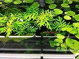 6 Water Wisteria (Hygrophila Difformis), Live Aquarium/Aquatic/Stem Plant