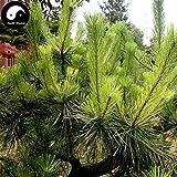 Comprar semillas de Pinus massoniana rbol 200pcs Planta Mason pino pinaster rbol de China