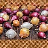 FLORTUS 2000-0423-500g Steckzwiebeln Disco Mix 500 g I Zwiebeln in hoher Qualität pflanzen I Gemüsezwiebel in der Größe 14 - 21 mm