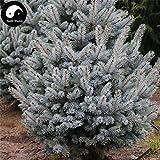 Shopvise Picea Pungens Fir Seed Semillas 60Pcs Semillas Spruce Blue Lan Shan