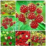 Adolenb Seeds House- Jardin Des Framboises Rouges 50pcs Des Plantes De Framboises'La Récolte Sans Fin' robuste et plein de nutrition Plantes Fruits Graines De Fraise Sauvage