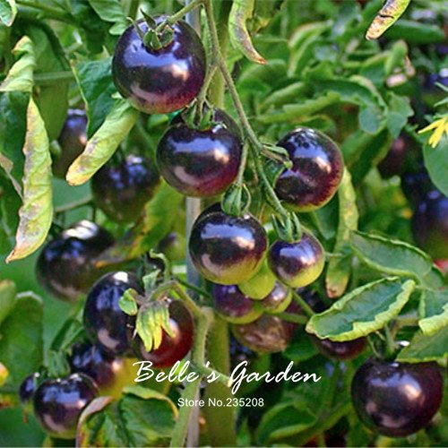 50pcs Rose 'Azul' semillas de tomate Nueva variedad púrpura