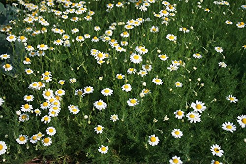 Asklepios-seeds® - 2000 Samen Anthemis nobilis (Chamaemelum nobile) Römische...