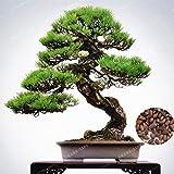 50 semillas Pcs japons Negro de rbol de pino de Bonsai Pinus Thunbergii semillas de plantas para el balcn fresco paisaje del aire al aire libre Jardn Inicio
