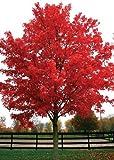 TROPICA - Arce rojo (Acer rubrum) - 20 semillas- Magia tropical