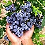 Kisshes Seedhouse - 50pcs Bio Rare Myrtille 'Giant Patriot' Bleu plante vivace graines plant fruitier jardin Résistant au froid juteuse savoureuse sucrée