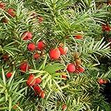 ENGLISH YEW (Taxus Baccata) 10 seeds