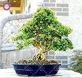 Semillas 20PCS ornamental perenne y arbustos de boj boj Bonsai Tree repelente de insectos Boxtree plantas de jardn de absorber el formaldehdo