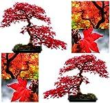 10x rojo rbol de arce semillasAcer rubrumexcelente para japons Bonsaicrece en pleno sol o Parcial de sombrazonas 59por myseeds. Co, Modelo:, hogar y jardn tienda