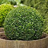 Boj, Buxus sempervirens, 100 semillas, (Hardy Evergreen, Topiary, Seto, Bonsai)