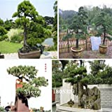 semillas de bonsi 50 paquetes de semillas del rbol Bonsai SEMILLAS Pinus nigra, Fagus sylvatica, palmatum de Acer, Acer Buergerianum, bricolaje