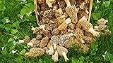 Large Kit Morel Mushroom Spores in Sawdust Seed Spore kit From WV 25 Gallon kit
