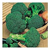 Broccoli - Calabrese - Green Sprouting - 1000 Seeds - Organic