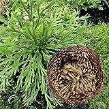 Inovey Plantas De Resurreccin 1Pcs Hidrophile Rose De Jeric Planta De Dinosaurios Helechos Musgo