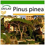 SAFLAX - Pinos pioneros - 6 semillas - Con sustrato estril para cultivo - Pinus pinea