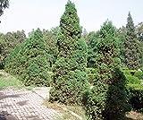 Chinos Enebro (Juniperus chinensis) Las semillas del rbol - EE.UU. - Bonsai 15,25,50,100