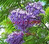 100pcs / Bolso azul prpura Jacaranda Mimosifolia rbol de arbustos, semillas de rboles bonsai, semillas de flores, plantas para el jardn de