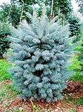 Semillas Semillas Bonsai azul Abeto Picea pungens rbol de hoja perenne 100 partculas / bag 1