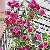 Pink Rosa Seeds 100+ (Wild Rose) Facile...