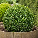 30 semillas - boj, Buxus sempervirens, semillas, (Hardy Evergreen, Topiary, Seto, Bonsai)