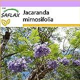 SAFLAX - Palisandro - 50 semillas - Jacaranda mimosifolia