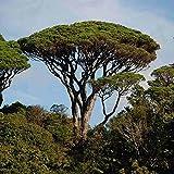 Italian stone pine x 5 fresh seeds (Pinus Pinea)
