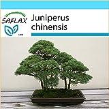 SAFLAX - Set regalo - Enebro de la China - 30 semillas - Con caja regalo/envo, etiqueta para envo, tarjeta de felicitacin y sustrato de cultivo y fertilizante - Juniperus chinensis