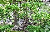 RWS Ficus Macrophylla 10 semillas, higos semilla Bonsai